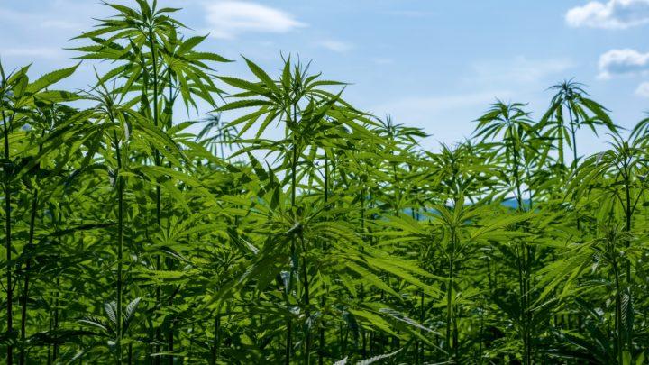 Biała Podl.: Tymczasowy areszt za uprawę i wytwarzanie znacznej ilości narkotyków